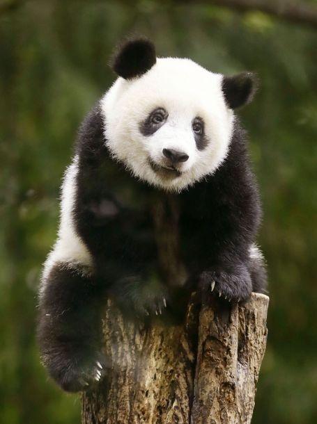 """在2017年12月19日与观众初次见面后,截至今年6月3日,已经有87万人次一睹它的真容。由于有了""""香香"""",动物园的参观人数6年来首次突破了400万人次。(图片来源:视觉中国)"""
