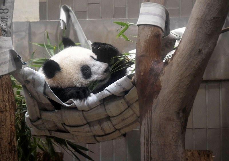 """据共同社东京6月12日报道。熊猫宝宝""""香香""""12日在东京一家动物园度过了它的1岁生日,目前健康状况良好。图为""""香香""""11日在东京上野动物园内玩耍。(日本《每日新闻》网站)38"""