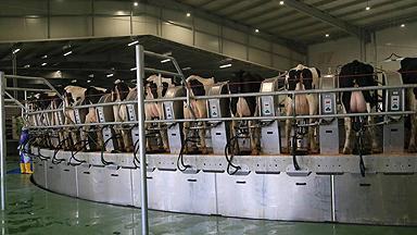 卡塔尔斥巨资沙漠建奶牛场:1万头牛 每天24小时喷水降温