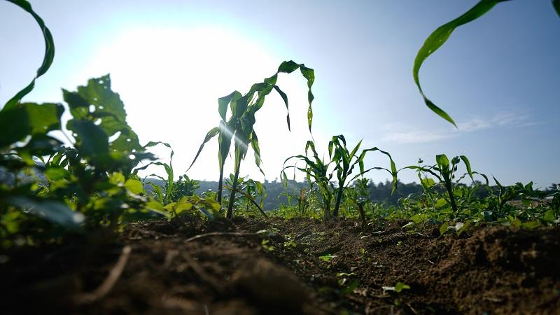 英媒称墨西哥欲反击美汽车关税 将对美国玉米大豆开铡