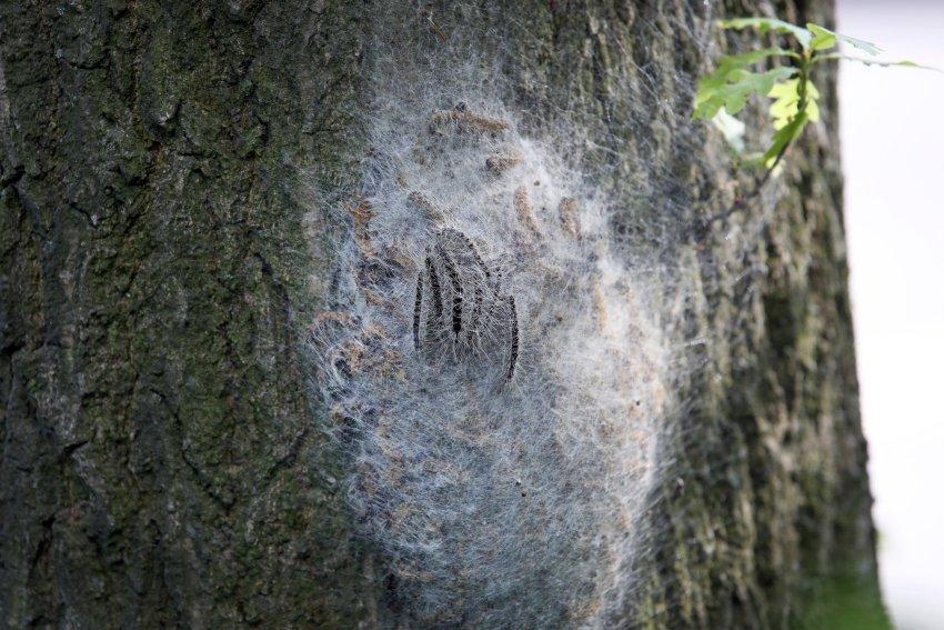 据报道,这些毛毛虫生活在纱茧中。这些纱茧像棉花糖一样粘在树干上。纱茧上也有有毒毛发。