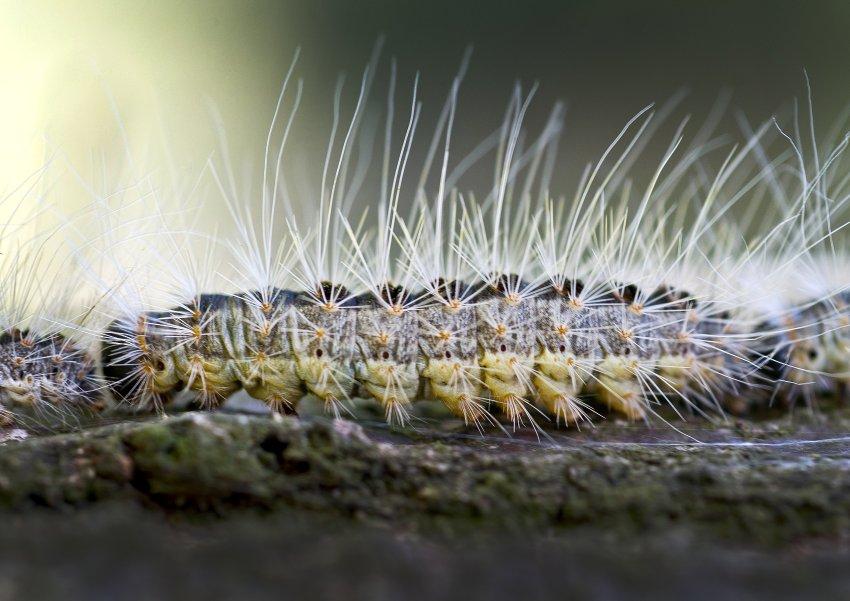 因为它们的毛发中含有有毒的蛋白质,会引起严重的皮肤不适。