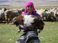 西藏日喀则牧民剪羊毛