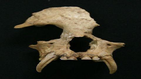 中国古墓中发现已灭绝长臂猿遗骸:竟是秦始皇祖母宠物