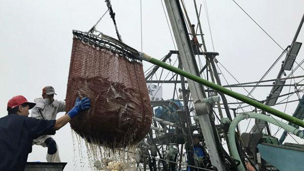 """日本秋刀鱼产量减少又""""甩锅中国""""?水产厅将提议限量捕捞"""
