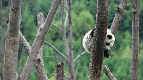 """美媒称保护大熊猫栖息地""""物超所值"""":投资获10倍以上收益"""