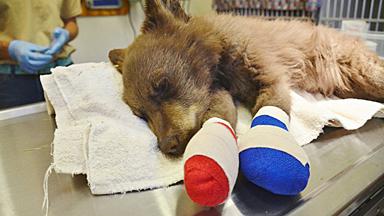 小熊崽在美国森林大火中受伤 遇到人类终获救