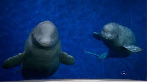 法媒:上海两头白鲸将被空运至冰岛 为动物保护带来希望