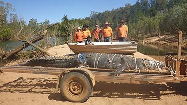 护林员在澳大利亚捕获巨鳄 竟与货车一样长