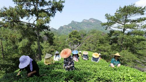 英媒:高档茶热销改变武夷茶农命运 年收入接近800万元