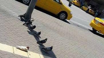 热到鸽子也抓狂!台网友晒照片:原来鸽子是这样避暑的——
