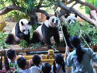 全球唯一三胞胎大熊猫庆祝四岁生日