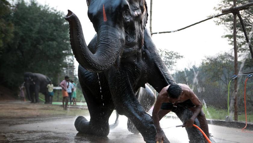 从疲劳和伤痛中恢复:印度大象疗养营成大象福音