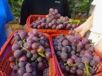 江西樟树:农业旅游热起来