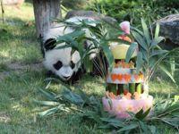 法国首只大熊猫宝宝周岁庆生