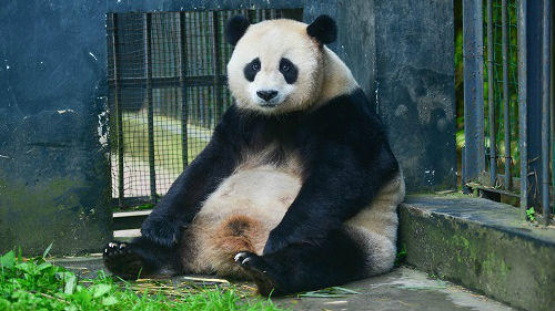 中国保护大熊猫浪费钱?港媒:经济回报是成本的10倍到27倍