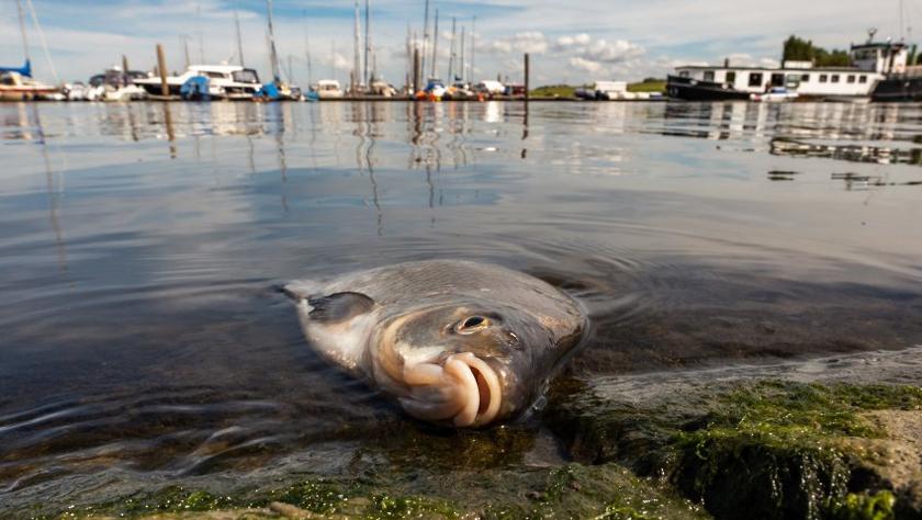 """天气太热鱼都受不了!德国数十吨鱼被""""热死"""""""
