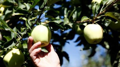 英媒称特朗普打贸易战让美苹果农户焦虑:怕步樱桃果农后尘