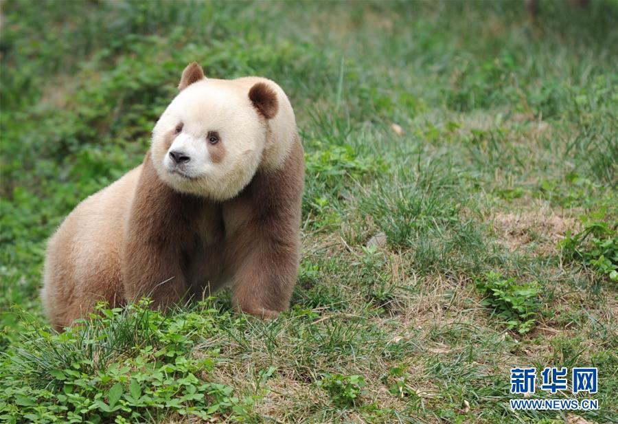 """宝中之宝:秦岭棕色大熊猫""""弃仔""""到""""七仔"""" 命运大不同"""