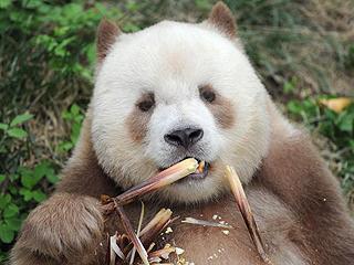 宝中之宝:秦岭棕色大熊猫
