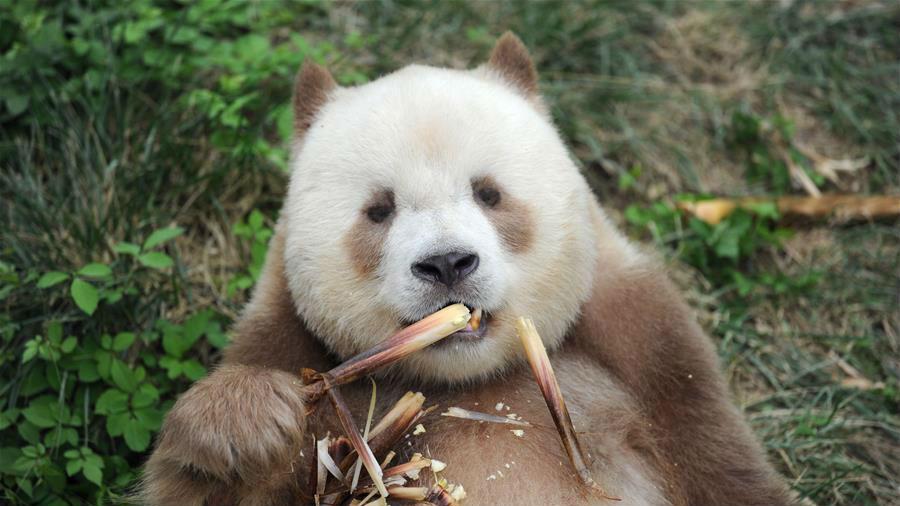 港媒:秦岭棕色熊猫成千亿国际886人新偶像 体型滚圆吸粉无数