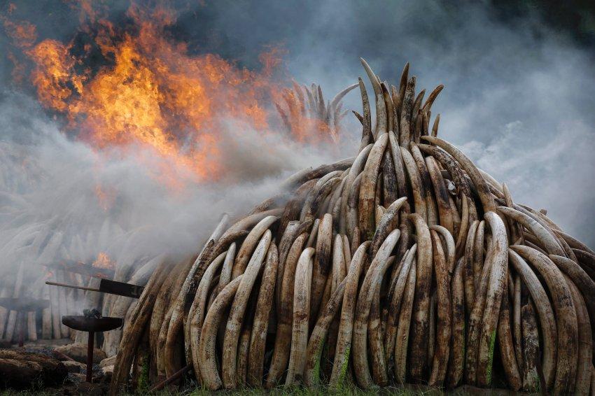 为了引起人们对非法偷猎的关注,肯尼亚当局2016年烧毁了约105吨象牙和约1.35吨犀牛角。