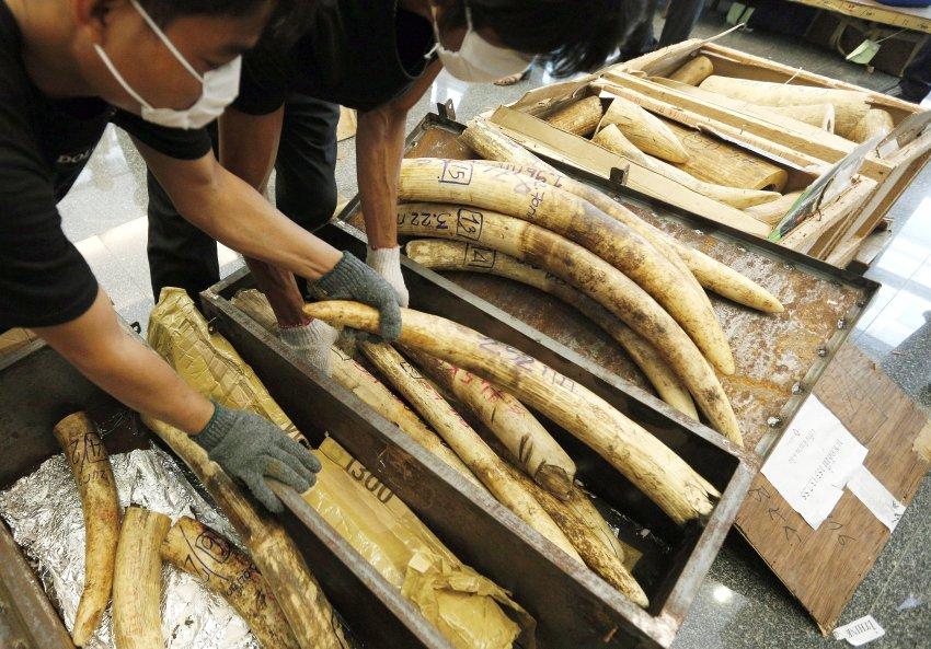 据德国《明镜》周刊网站9月19日报道,当今的象牙贸易是一项秘密产业,交易数额高达数十亿美元。每年大约有4.4万头大象惨遭猎杀。由华盛顿大学萨缪尔·瓦瑟尔领导的一个课题组在《科学进展》杂志上发表论文确认,有3家卡特尔专门从事象牙的出口业务。美国学者们希望通过研究成果打击盗猎行动。图为泰国海关没收的象牙。编译/王东(参考消息网独家编译,转载请注明出处)