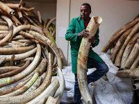 利润驱使下的杀戮:象牙交易导致每年超4万头大象被杀