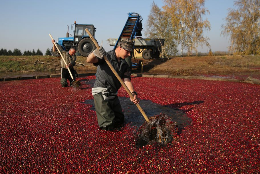 白俄罗斯小哥哥告诉你如何收获蔓越莓