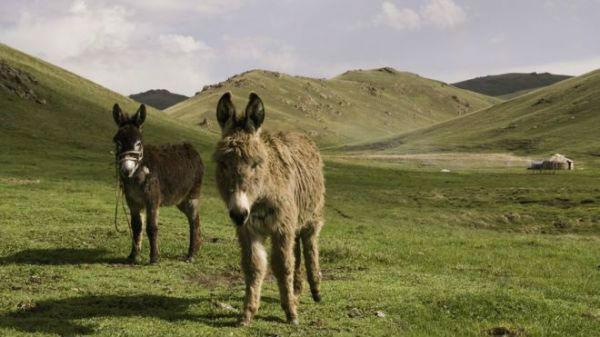 "BBC:中国人制造""灵丹妙药"" 吉尔吉斯斯坦毛驴遭殃?"