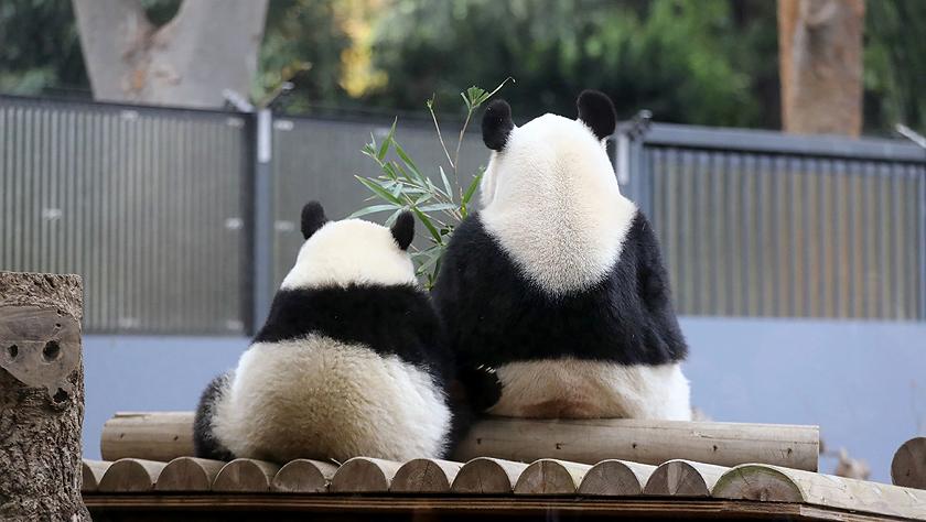 大熊猫在日本东京上野动物园吃竹子