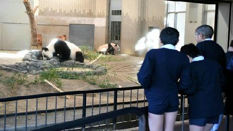日媒回顾中国大熊猫旅日之路:日本人对大熊猫是真爱