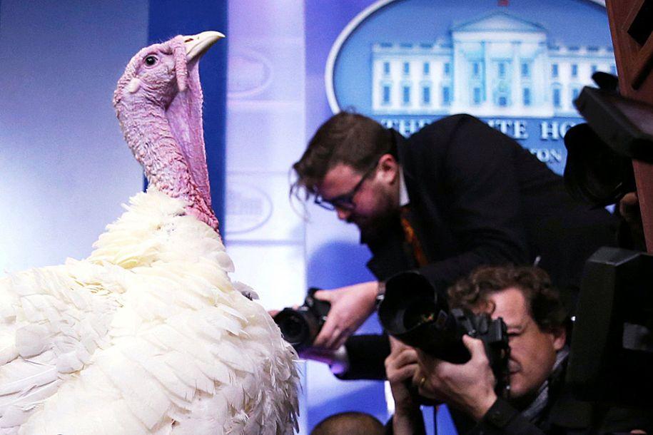 """据路透社报道,11月20日,在美国华盛顿,即将参加赦免仪式的感恩节火鸡在白宫向媒体展示。71年来,每逢感恩节,美国总统都要赦免火鸡,使它们免于像其他同伴那样成为人们感恩节餐桌上的美味烤火鸡。根据传统每年要选出一只被赦免的火鸡,它赢得""""美利坚合众国火鸡""""头衔,另外一只是候补,万一中选火鸡发生意外的时候替代它履行职责。(图片来源:路透社)"""