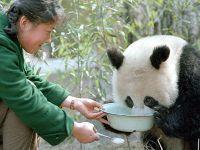 """""""熊猫小姐""""金勖琪:我与世界级萌宠的不解缘"""