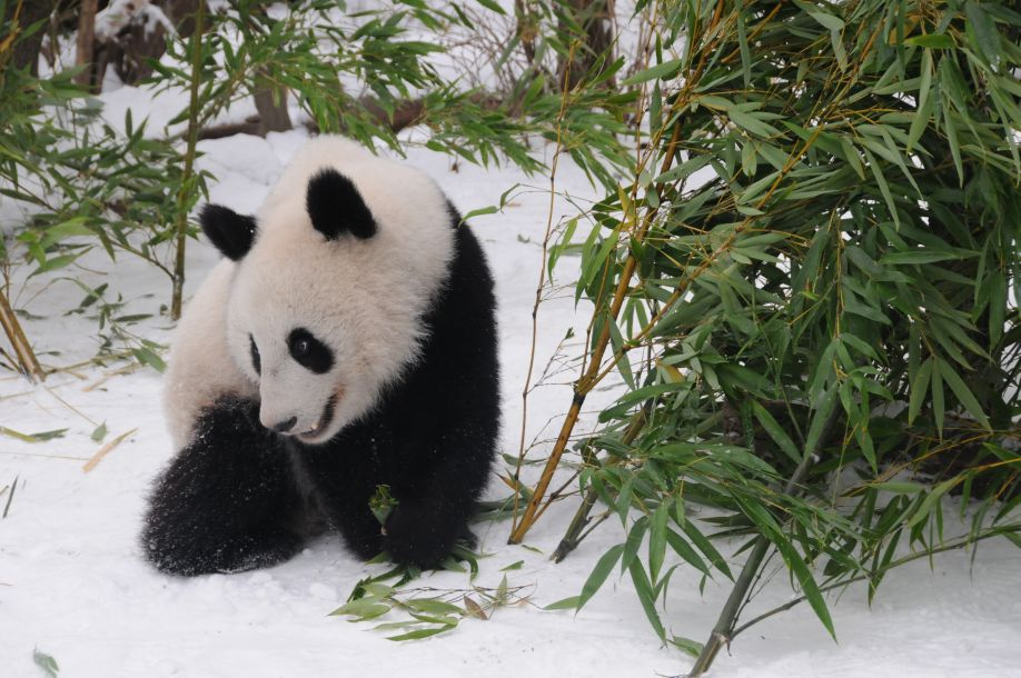 奥地利出生的大熊猫龙凤胎即将返回怎么能挣钱
