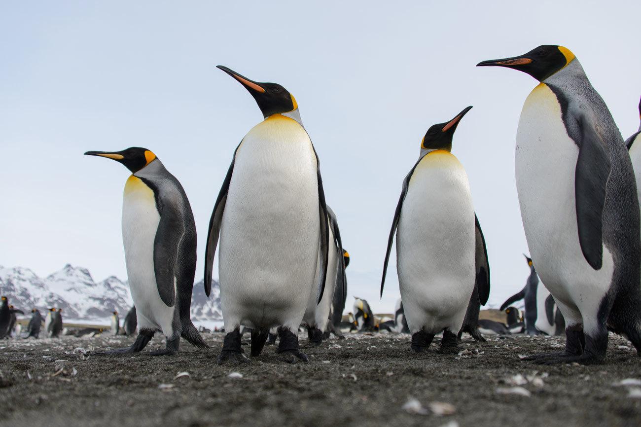 盘点观赏野生动物最棒的地方:来!7万看一眼南极洲帝企鹅