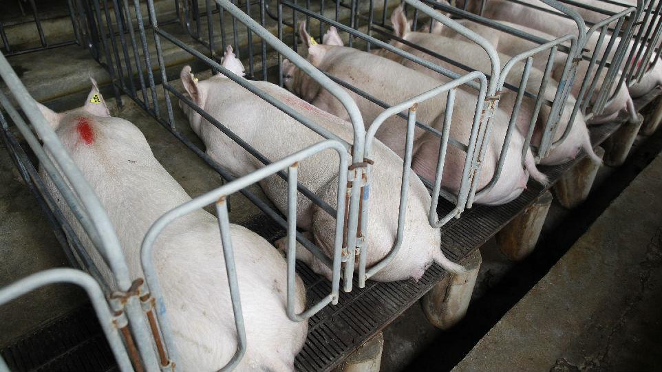 外媒为防控非洲猪瘟献策:可借鉴俄罗斯养猪场经验