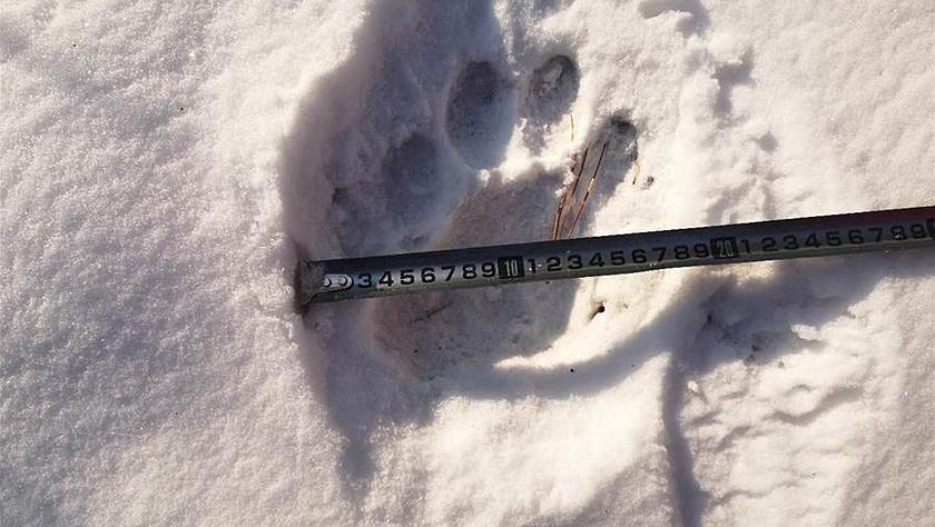 吉林舒兰市发现疑似东北虎踪迹