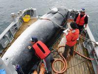 日本宣布退出国际捕鲸委员会 明年7月重启商业捕鲸