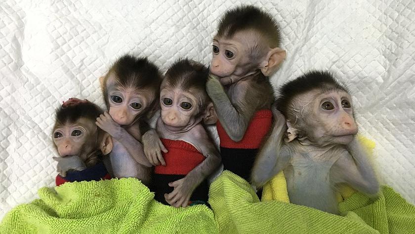 中国科学家创建世界首例生物节律紊乱体细胞克隆猴模型