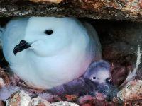 中国首次利用红外相机自动监测南极雪海燕