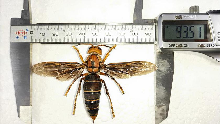 昆虫专家在云南发现体长超过6厘米的超级大黄蜂