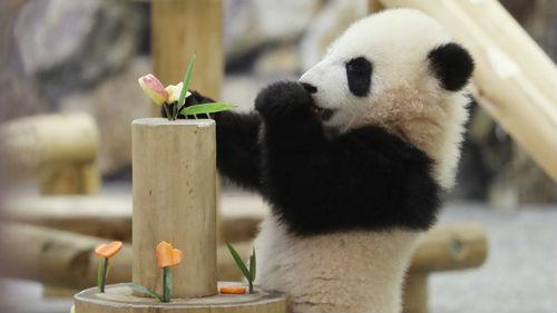 赠高雄大熊猫建议引热议