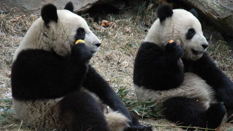 """韩国瑜欢迎熊猫到高雄 台媒:绿营若阻挡只会引来""""恶感"""""""