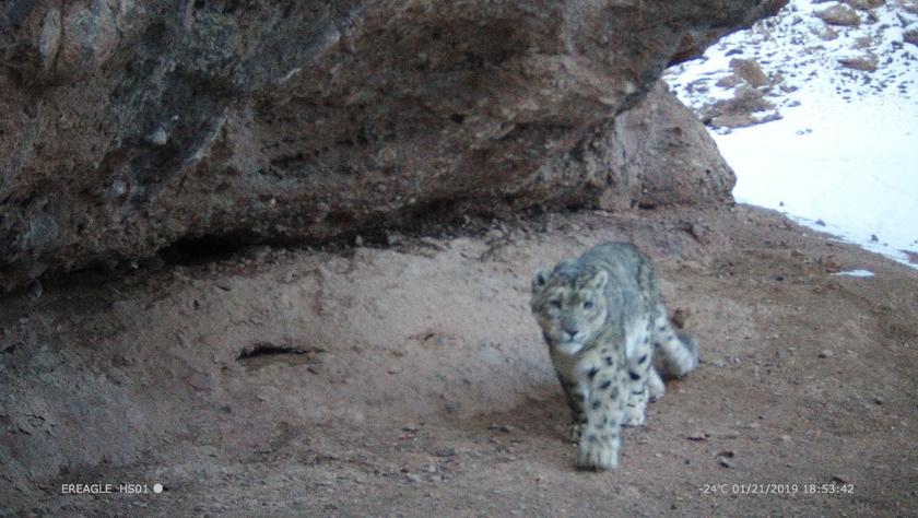 黄河源头拍摄到雪豹影像