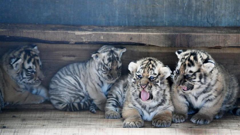 中国横?#31726;?#23376;猫科动物饲养繁育中心:东北虎