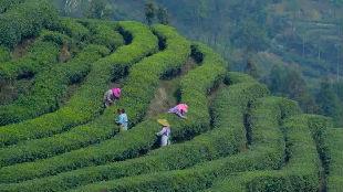 锐参考 | 这杯中国茶,为什么让世界上瘾?