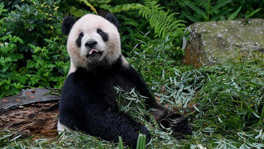 赠台大熊猫十年迎客两千余万