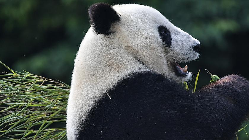 """旅美大熊猫""""白云""""""""小礼物""""回到家乡四川"""