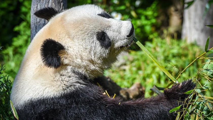 """维也纳:大熊猫""""阳阳""""的幸福生活"""